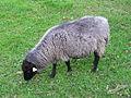 Jielbeaumadier mouton gris parc de sceaux 2013.jpeg