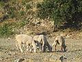 Jielbeaumadier moutons corte 2006.jpeg