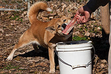 An orange dog chews on a meat-covered animal bone being offered by a human.