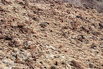 Ferocactus cylindraceus - Hillside with many Ferocactus cylindraceus, in Joshua Tree National Park.