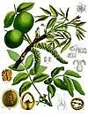Juglans regia - Köhler–s Medizinal-Pflanzen-081.jpg