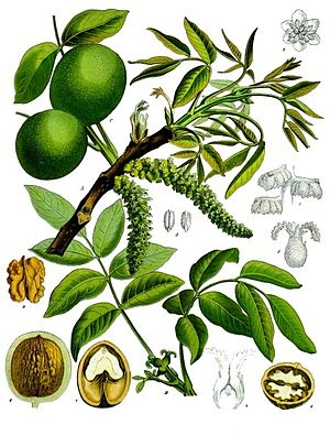 Echte Walnuss (Juglans regia), Illustration