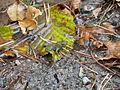 Junge Gelbbauchunke im Tauschwald.JPG