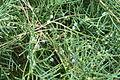 Juniperus virginiana Grey Owl, Kornik.JPG