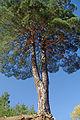 Kızılçam ağacı - Pinus brutia 03.JPG