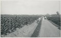 KITLV - 12647 - Kleingrothe, C.J. - Medan - Harvesting of tobacco on the plantation in Deli Klumpang - 1903.tif