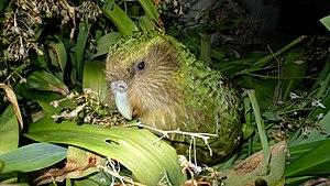 Small population size - Image: Kakapo Sirocco 1