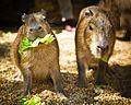 Kapibara eszik.jpg
