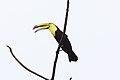 Keel-Billed Toucan (Ramphastos sulfuratus) (5772373718).jpg