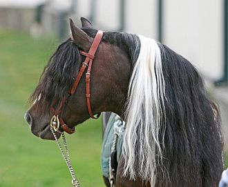 Kerry Bog Pony - The head and thick mane and forelock of a Kerry Bog Pony
