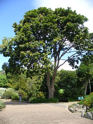 Mahogany - Red mahogany tree. Khaya anthotheca