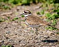 Killdeer (27424337528).jpg