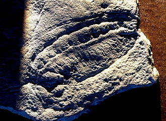 Kimberella - Cast of a partial Kimberella fossil.