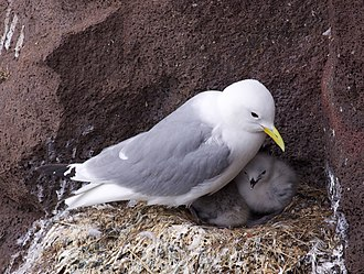 Kittiwake - Image: Kittiwake with young chick