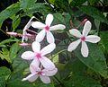 Kopsia fruticosa (Flowers).JPG
