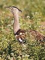 Kori bustard, Ardeotis kori, at Mapungubwe National Park, Limpopo, South Africa (18133981971).jpg