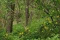 Korina 2015-04-30 Mahonia aquifolium.jpg
