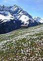 Krokuswiese im Frühling, mit Bruschghorn - panoramio.jpg