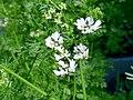 Kwiat kolendry 02.jpg