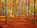 LSG Stetternicher Wald Buchenbestand im Herbst DE-NW.JPG