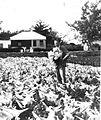 L Ogilvie lilies Bermuda 1926.jpg