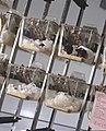 Lab mice 436262.jpg