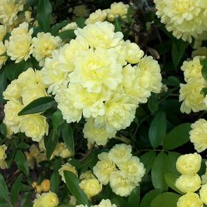 Rosa banksiae - Lady Banks' Rose in full bloom. Henderson, Nevada, USA