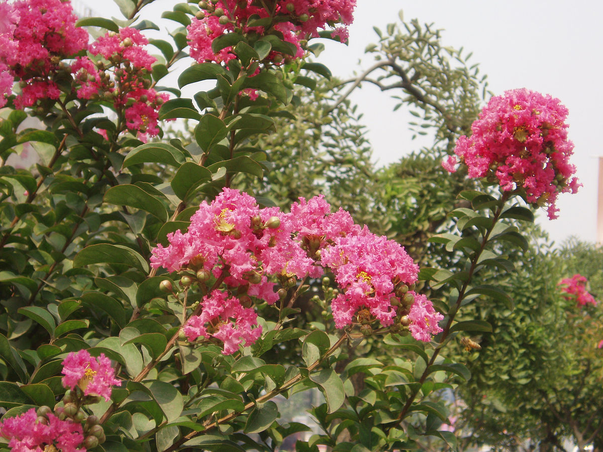lagerstroemia indica wikispecies. Black Bedroom Furniture Sets. Home Design Ideas