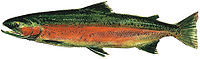 Drawing of freshwater spawning phase of male steelhead