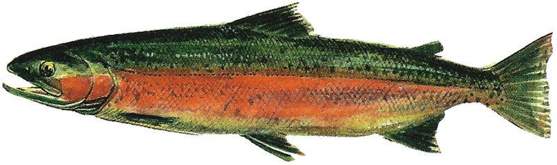 Lake Washington Ship Canal Fish Ladder pamphlet - male freshwater phase Steelhead.jpg