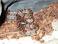 Lampropeltis mexicana mexicana 01.jpg