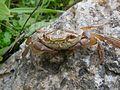 Land Crab (6945097036).jpg