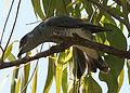 Large Cuckooshrike (Coracina macei) W IMG 4395.jpg