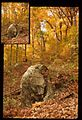Large Rock Sitting Among Fall Leaves (Missouri State Archives) (8204302876).jpg