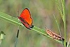 Large copper (Lycaena dispar) male Greece.jpg