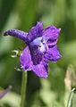 Larkspur Delphinium glaucum closeup.jpg