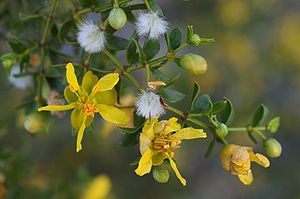 Larrea tridentata - Larrea tridentata at Furnace Creek, Death Valley, California.