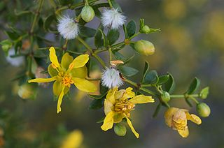 <i>Larrea tridentata</i> species of plant