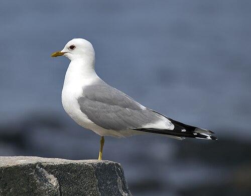 500px larus canus common gull in norway