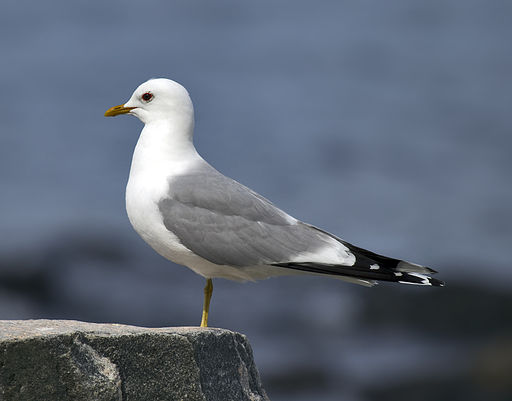 Larus canus Common Gull in Norway