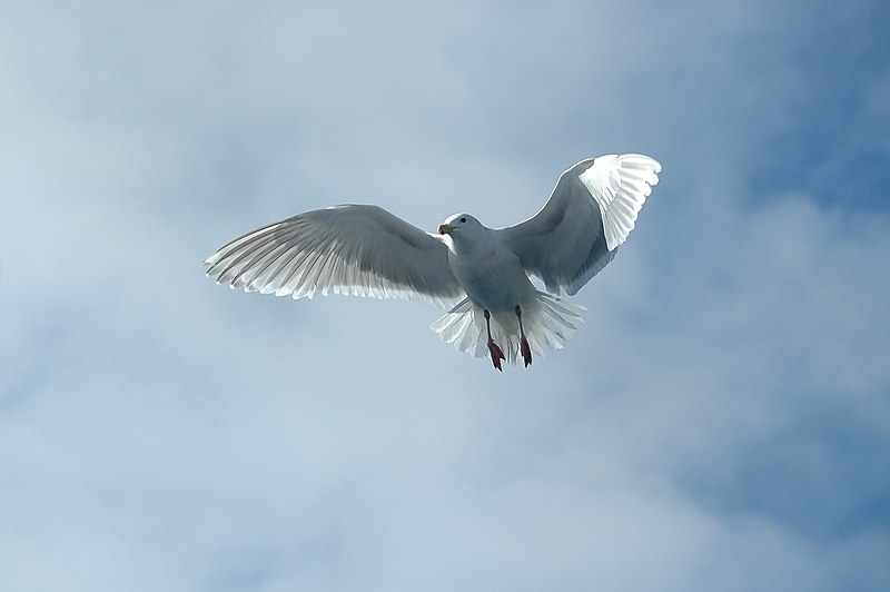 File:Larus glaucescens adult flight.jpg
