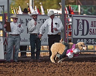 Mutton busting - A contestant falling off the sheep