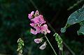 Lathyrus latifolius 01.jpg
