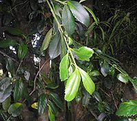 Laurelia sempirverens-hojas