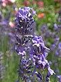 Lavender (27691786963).jpg