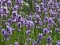 Lavender (35414562381).jpg