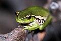Leaf-Green Tree Frog (Litoria nudidigita) (8398116958).jpg