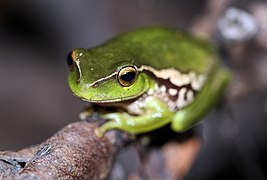 Leaf-Green Tree Frog (Litoria nudidigita) (8398116958).jpg