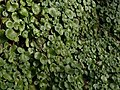 Leaves of Wall Pennywort by the coast path - geograph.org.uk - 1168728.jpg