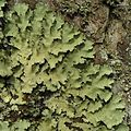 Lecanora floridulaParmotrema madagascariaceum - Flickr - pellaea.jpg